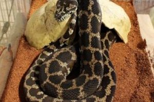 animal python-2